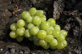 Green_Grapes2